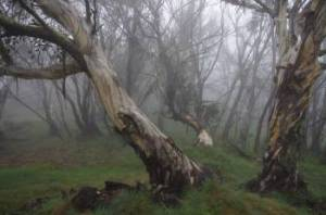 snow gums near Mt Lovick, VIC