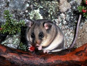 Mountain Pygmy-possum (Burramys parvus). Source: Department of the Environment and Heritage