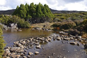Pine grove under Turrana Bluff