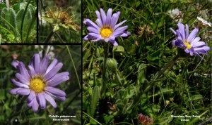 Image: http://bie.ala.org.au/species/urn:lsid:biodiversity.org.au:apni.taxon:276201