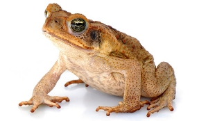 cane toad. Would grazing bring more problems then it solves?