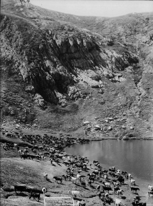 Back to the future? Cattle at Blue Lake in about 1900, photographed by Charles Kerry and part of the Tyrell Collection held by the Powerhouse Museum http://wikiski.com/wiki/index.php/Category:Australian_High_Country_History