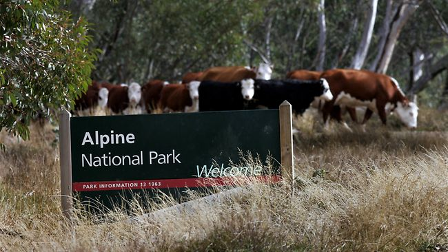 Victorian Government's alpine cattle grazing policy heads to court