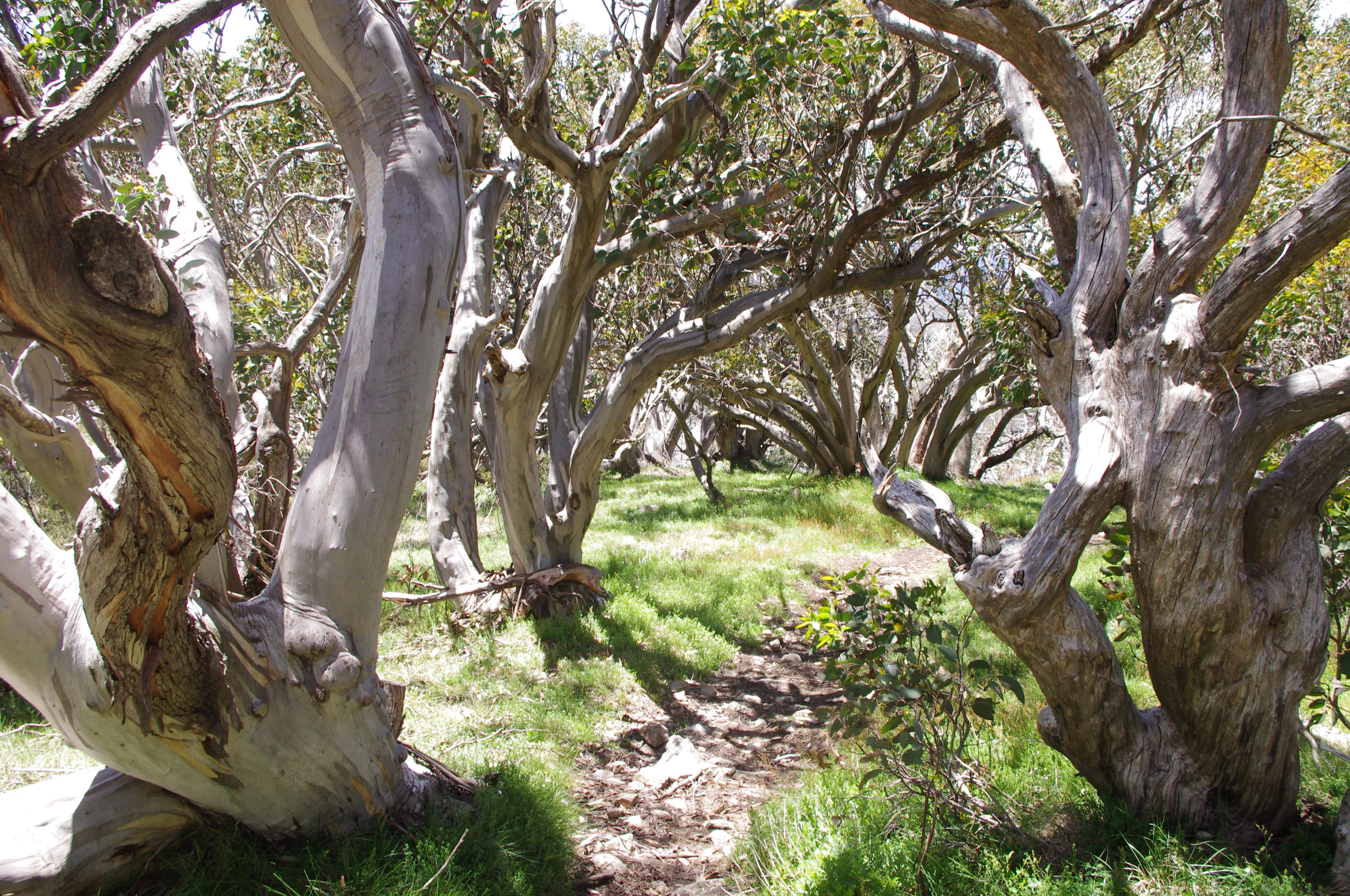 Snow Gum Stock Photos and Pictures   Getty Images