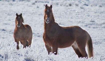 Brumbies roam the Kosciuszko National Park. Photo: Coleen O'Brien