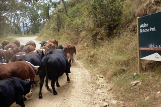 Victorian Government to scrap alpine cattle grazing trial