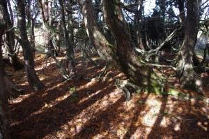 Pencil Pine, Central Plateau near Lake MacKenzie
