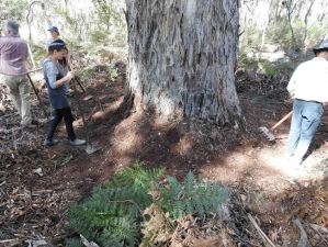 CFA Volunteers for Forests – clearing breaks around old-growth Mountain Gums. This tree is 2m in diameter and 250+ years old.