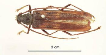 Longicorn beetle adult